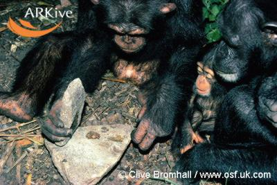 20060823074836-large-male-western-chimpanzee-using-rocka-s-anvil-to-crack-nuts.jpg