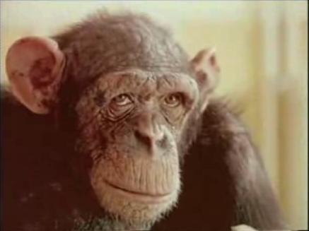 20061215083803-chimp-marato3.jpg
