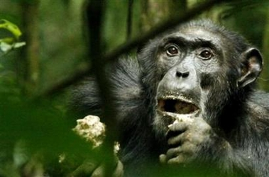 Hunting chimps may change view of human evolution