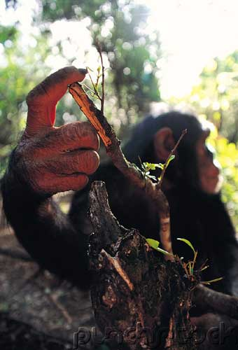 Chimpanzees Are Actually Three Distinct Groups, Gene Study Shows