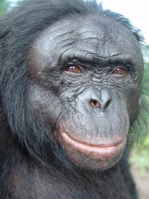 Like humans, apes can communicate manually