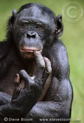 Chimps knocked off top of the IQ tree