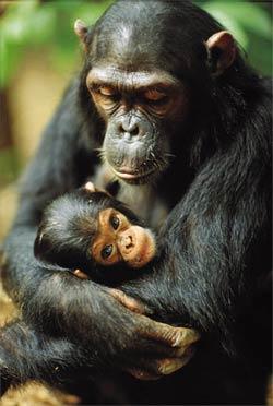 Female-led Infanticide In Wild Chimpanzees