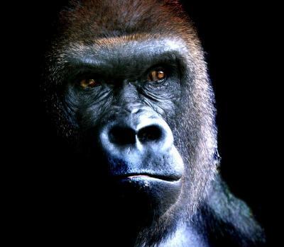 El virus ébola amenaza a la población del gorilas del Congo