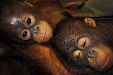Palm oil puts squeeze on Asia's endangered orangutan